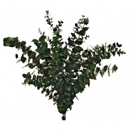 Eucalipto verde